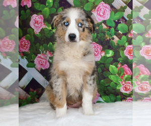 Australian Shepherd Puppy for Sale in WARSAW, Indiana USA