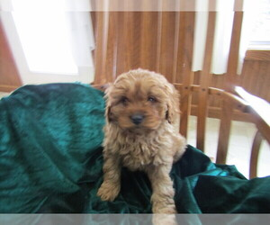 Cavapoo Puppy for sale in CHICAGO, IL, USA