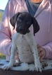 Puppy 6 German Shorthaired Pointer