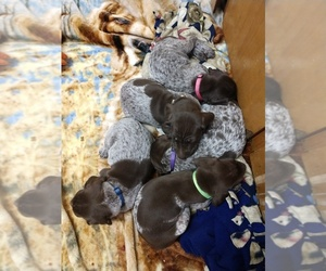 German Shorthaired Pointer Puppy for Sale in COSHOCTON, Ohio USA