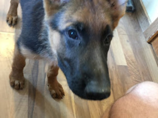 German Shepherd Dog Puppy For Sale in WILSON, OK, USA