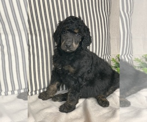 Poodle (Standard) Puppy for sale in WEST SALEM, IL, USA