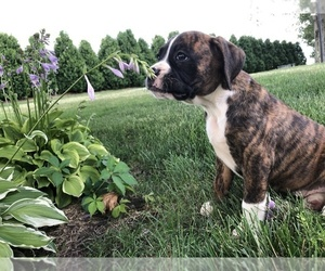 Boxer Puppy for Sale in BECKS MILLS, Ohio USA