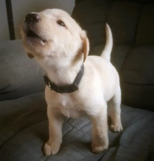 AKC AMERICAN POINTING LAB PUPPIES