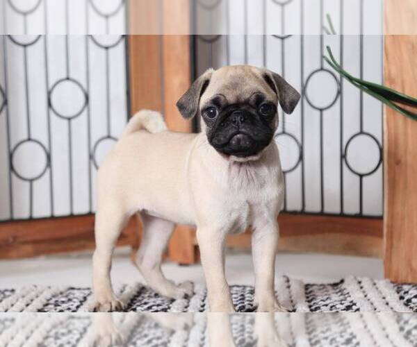 PuppyFinder com - View Ad: Photo #1 of Listing Pug Puppy for