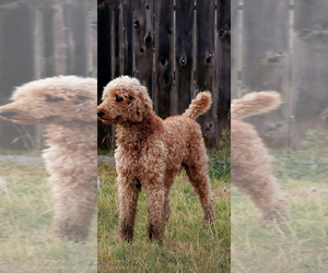 Father of the Labradoodle puppies born on 02/14/2021