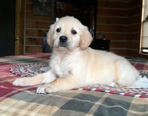 Golden Retriever Puppy For Sale in SHIPSHEWANA, IN, USA