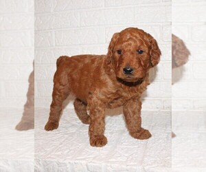 Goldendoodle Puppy for sale in PIQUA, OH, USA