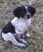 Brittany Puppy For Sale in NEWCASTLE, OK,