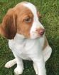 Brittany Spaniel Puppies in MN