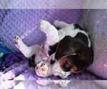 Small #15 Beagle