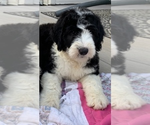 Sheepadoodle Puppy for sale in FREDERICKTOWN, MO, USA