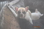 French Bulldog Puppy For Sale in ANTIOCH, CA