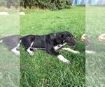 Puppy 2 Anatolian Shepherd-German Shepherd Dog Mix