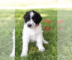 Sheepadoodle Puppy for Sale in GRANT CITY, Missouri USA