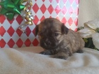 Cavachon Puppy For Sale in EAST EARL, PA