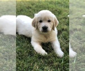 Golden Retriever Puppy for Sale in MURRIETA, California USA