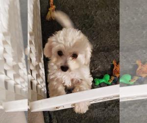 Cavachon Puppy for sale in BLUE MOUND, TX, USA