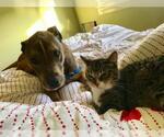 Small #136 American Pit Bull Terrier-Labrador Retriever Mix