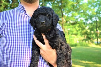 Labradoodle Puppy For Sale in WABASH, IN, USA