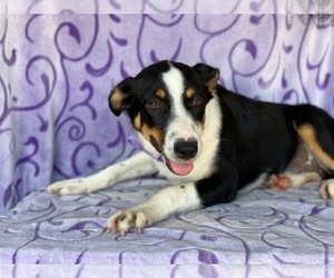Sheprador Puppy for sale in LANCASTER, PA, USA