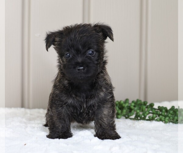 Medium Photo #1 Cairn Terrier Puppy For Sale in FREDERICKSBG, OH, USA