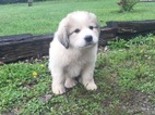 Great Pyrenees puppy for sale CKC