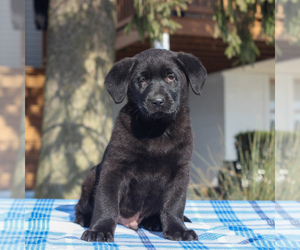 Shepradors Puppy for sale in BIRD IN HAND, PA, USA