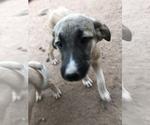 Small #5 Kangal Dog