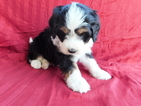 Miniature Bernedoodle Puppy For Sale in DUNDEE, Ohio,