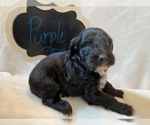 Sheepadoodle Puppy for sale in HARROGATE, TN, USA