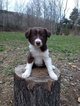 Border Collie Puppy For Sale in ATHENS, West Virginia,