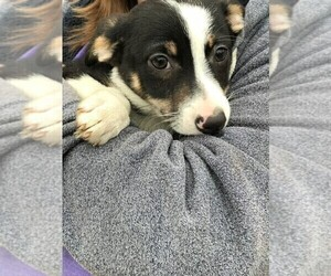 Border Collie-Chihuahua Mix Puppy for Sale in STAFFORD SPRINGS, Connecticut USA