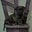Presa Canario Puppy For Sale in FREDERICKSBURG, OH, USA