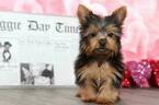 Kingston Toy AKC Male Yorkie Puppy