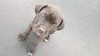 America Bandogge Mastiff Puppy For Sale in SAINT FRANCIS, MN, USA