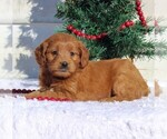Small Goldendoodle (Miniature)