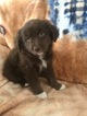 Australian Shepherd Puppy For Sale in WALTON, KY, USA