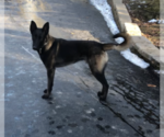 Small Photo #3 Belgian Malinois Puppy For Sale in LABADIE, MO, USA