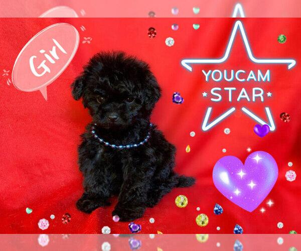 Medium Photo #7 Maltese-Maltipoo Mix Puppy For Sale in SAN FRANCISCO, CA, USA