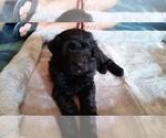 Puppy 6 Bouvier Des Flandres-Poodle (Standard) Mix