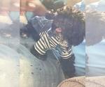 Small #4 Pekingese-Poodle (Toy) Mix