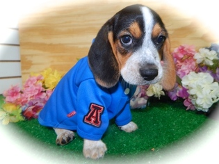 Beagle Puppy For Sale in HAMMOND, IN, USA