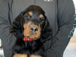 Gordon Setter Puppy for Sale in PADUCAH, Kentucky USA