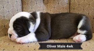 Olde English Bulldogge Puppy For Sale in CYNTHIANA, IN