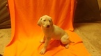 Labrador Retriever Puppy For Sale in NAVARRE, OH