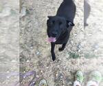 Small #257 Labrador Retriever