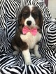 Miniature Bernedoodle Puppy For Sale in EAST EARL, PA, USA