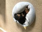 Rottweiler Puppy For Sale in ELIZABETH CITY, North Carolina,