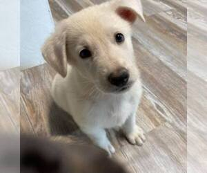 German Shepherd Dog Puppy for sale in CASHTON, WI, USA
